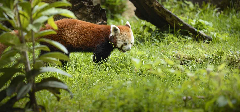 made in gone - Panda roux, Parc de la Tête d'Or, Lyon